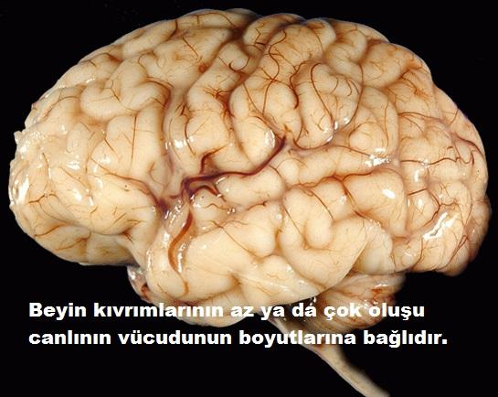 Beyin neden kıvrımlıdır